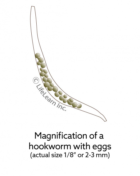 hookworm_lifecycle_cat_2018_hookworm_with_eggs