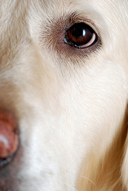How Can You Tell When A Dog Has Cataracts