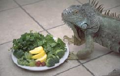 Iguanas Feeding 1