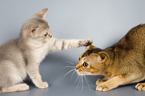 kitten_-_socialization_and_fear_prevention