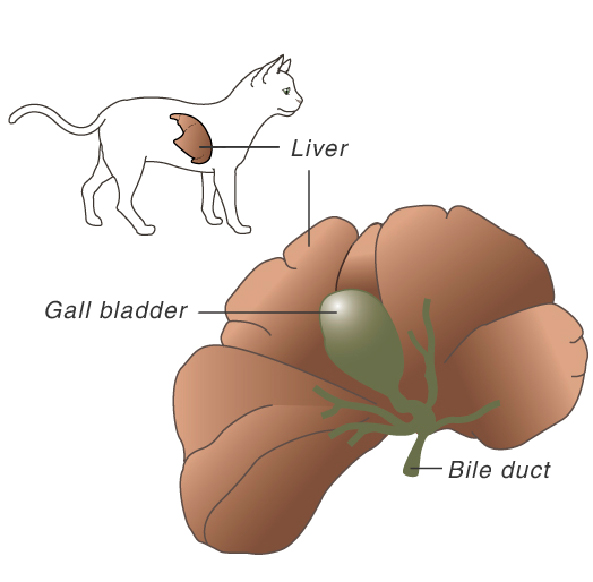 liver_diseases_in_cats-1