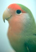 Lovebirds Feeding Vca Animal Hospital