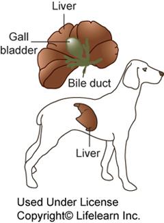 How To Treat Hepatitis In Dogs