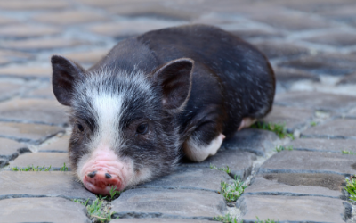 General Facts About Mini Pigs Vca Animal Hospital