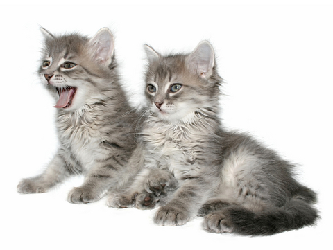 Considerations When Getting a Second Cat | VCA Animal Hospital