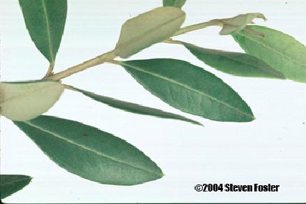 Olive Leaf   VCA Animal Hospital