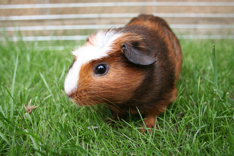 Mites in Guinea Pigs | VCA Animal Hospital