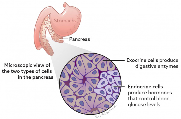 pancreas_exocrine_and_endocrine_cells_2017-01