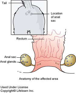 Anal fistula in dogs