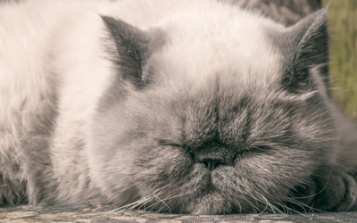 Polycystic Kidney Disease in Cats | VCA Animal Hospital