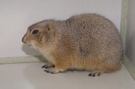 prairie_dogs-diseases-3