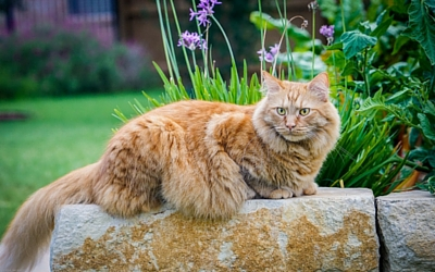 Pyelonephritis (Bacterial Infection of the Kidney) in Cats