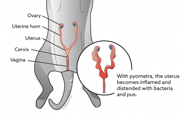 Pyometra in Cats | VCA Animal Hospital
