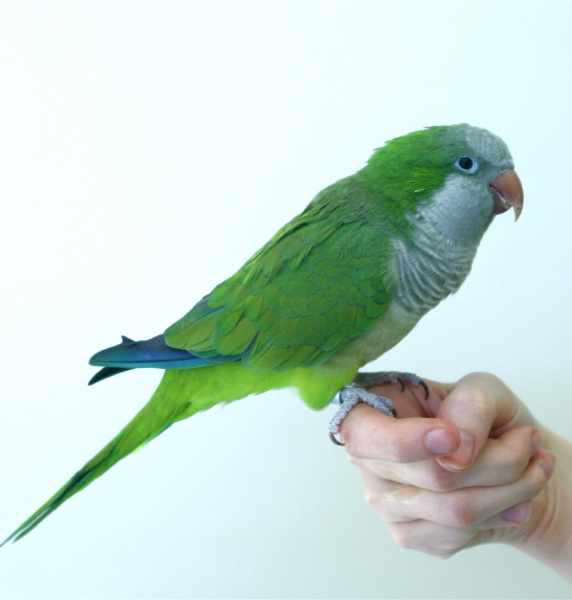 Checking quaker parrot sex without test