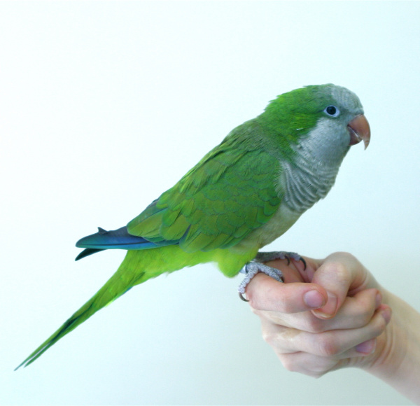 quaker_or_monk_parakeets_-_feeding-1
