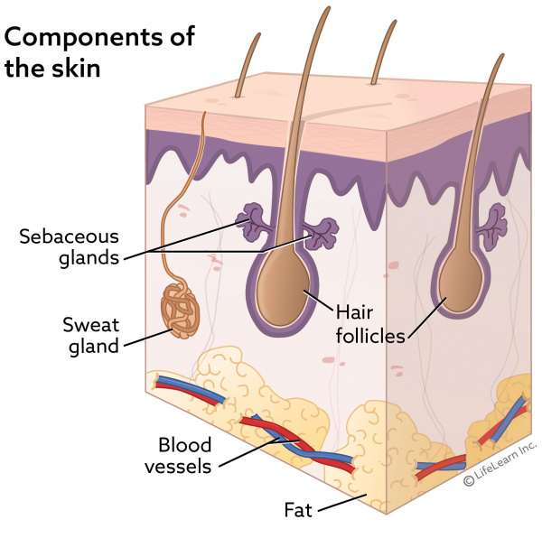 Sweat Gland, Hair Follicle, And Sebaceous Gland Tumors