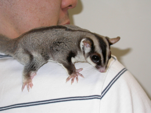 sugar_gliders-owning-1