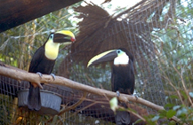 toucans_and_toucanettes-2