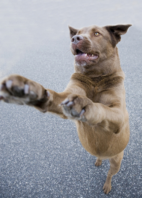 training_in_dogs__greeting_behavior_jumping_up