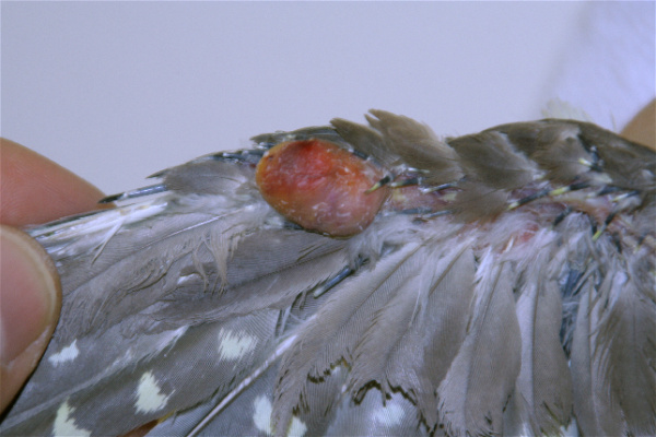 tumours_-_xanthoma_in_birds-1