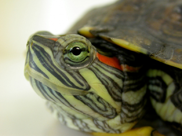 What Foods Can Aquatic Turtles Eat
