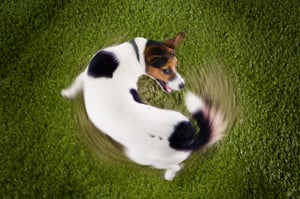 Why Do Dogs Chase Their Tails Vca Animal Hospital