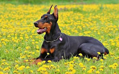 Wobbler Syndrome In Dogs Cervical Spondylomyopathy Vca Animal