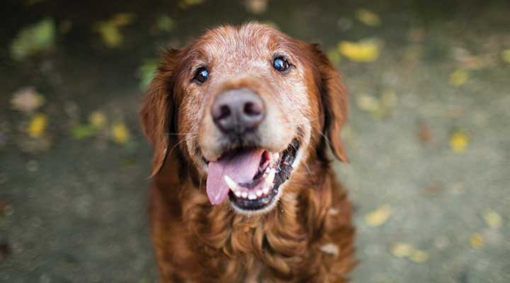 Picture of a senior age dog