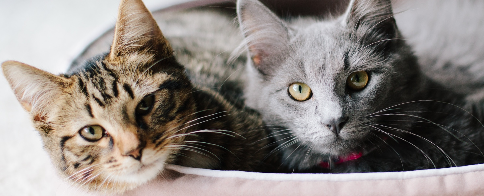 VCA Team Page Picture of 2 Cats in a basket