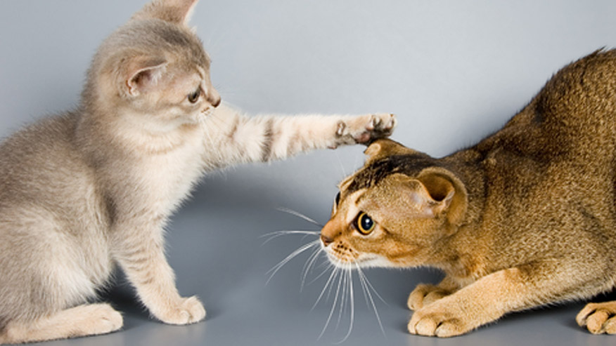 VCA Behavior Counseling Picture of a Two Cats Interacting