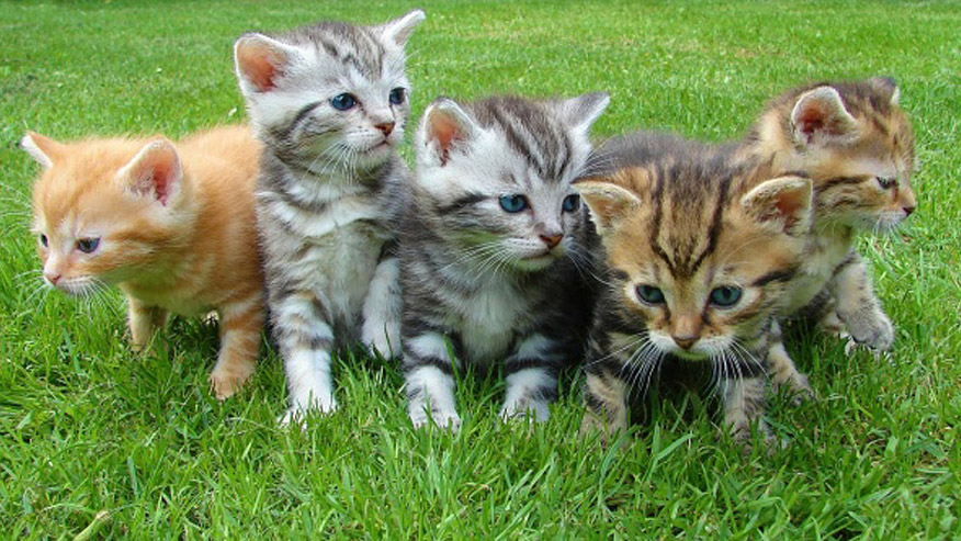 VCA New Kitten Package Picture of a Group of Kittens on Grass