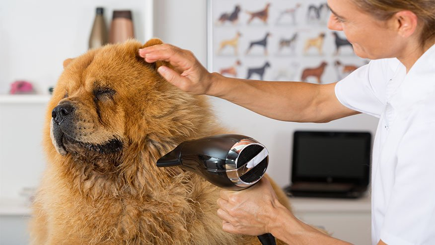 chow chow dog with groomer