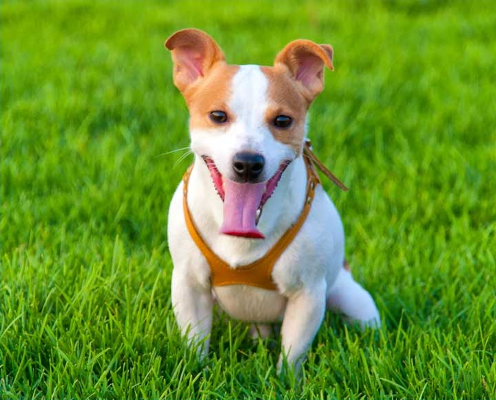 Picture of Jack Russell dog for VCA CareClub Rewards