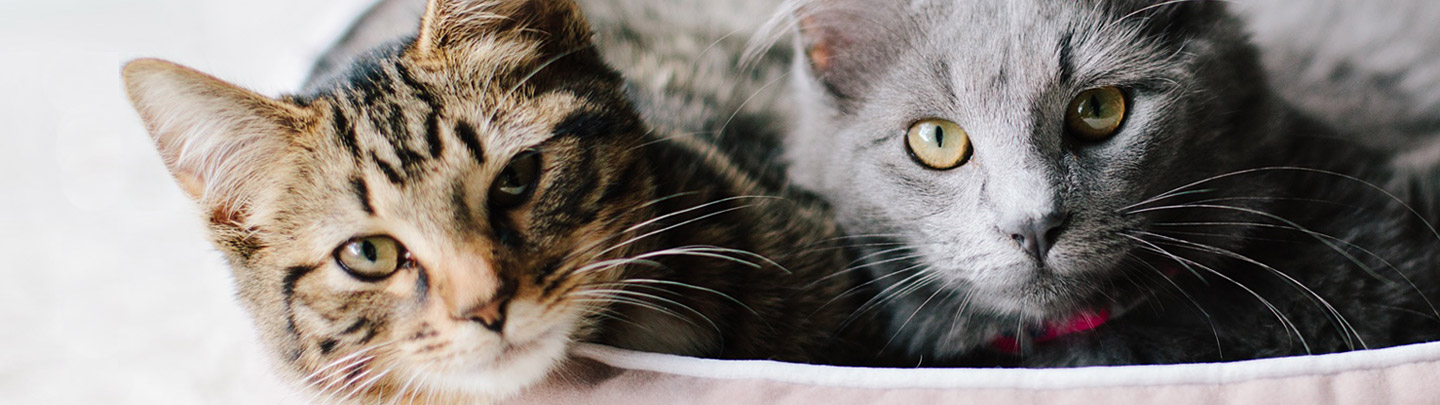 VCA Pet Boarding Picture of Two Cats in a Bed