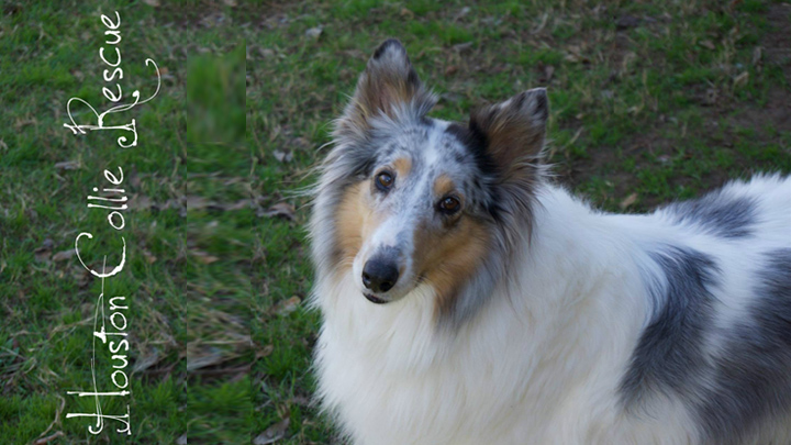 Houston Collie Rescue