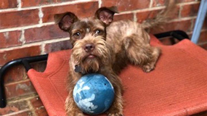 Miniature Schnauzer Rescue of Houston