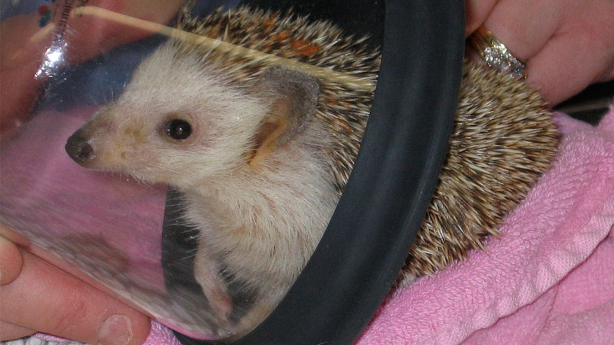 VCA Wakefield Animal Hospital hedgehog mask