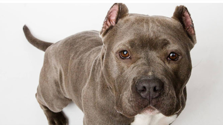 Merit Pitbull Foundation dog